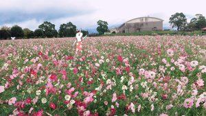 都市農業センター秋のコスモス畑